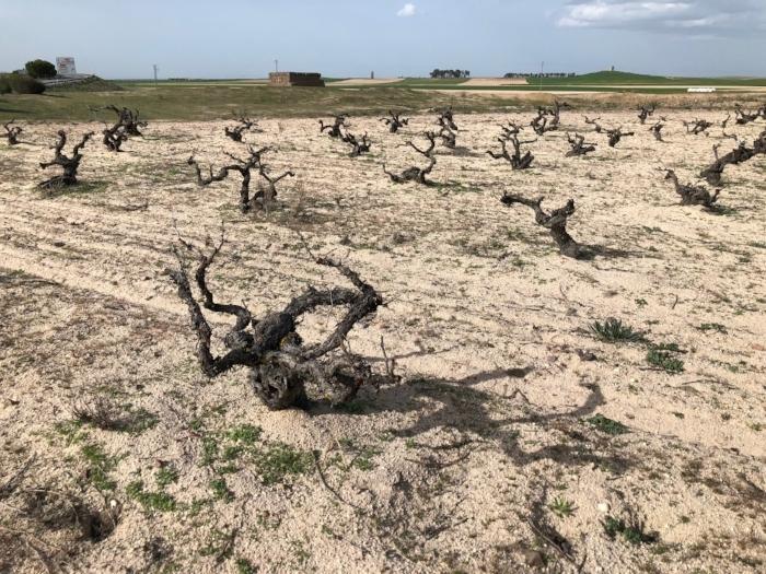 Sandy and granite soils.Old bush vines of 80 plus year of Verdejo in Rueda, Spain.