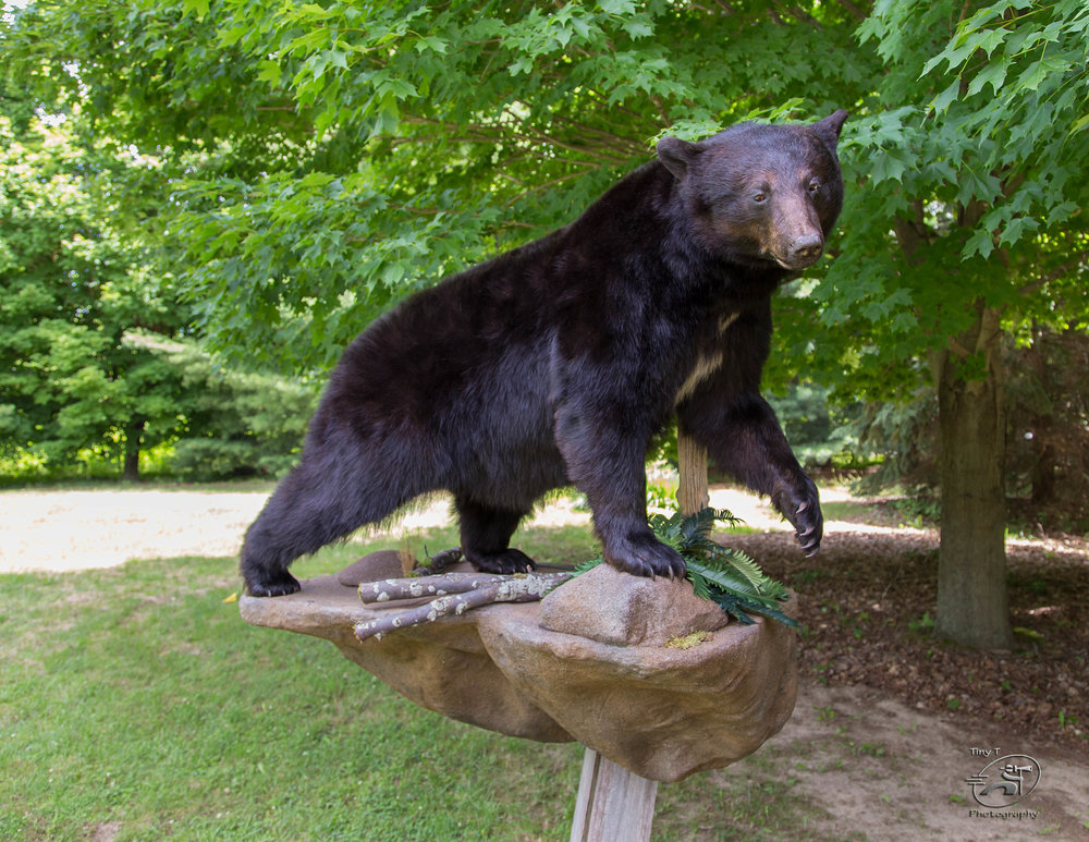 Black Bear w/ Rock Mount