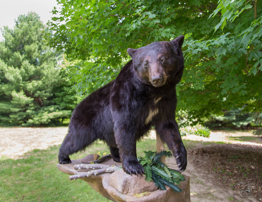 Black Bear w/ Rock Mount 2