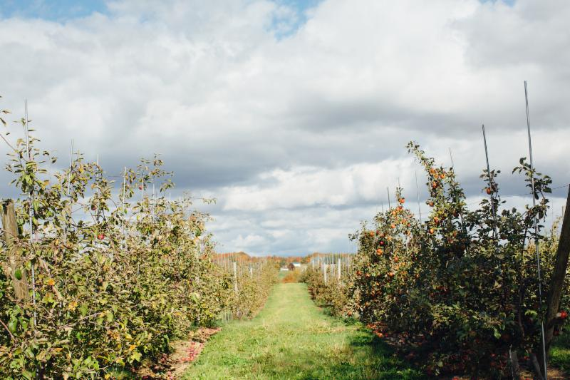 Rows of apples under the fall sky at Champlain Orchards, in Shoreham, VT. Our Fall/Winter Vermont Vegetable subscriptions include ecologically-grown apples and cider from Champlain Orchards!