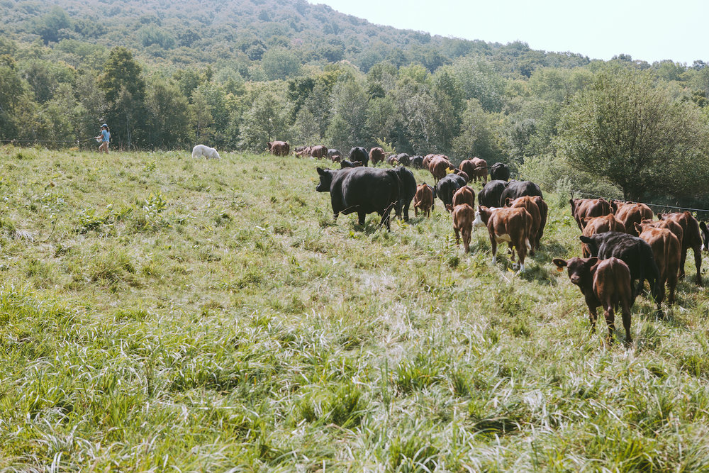 Rotational grazing in practice at Maple Wind Farm