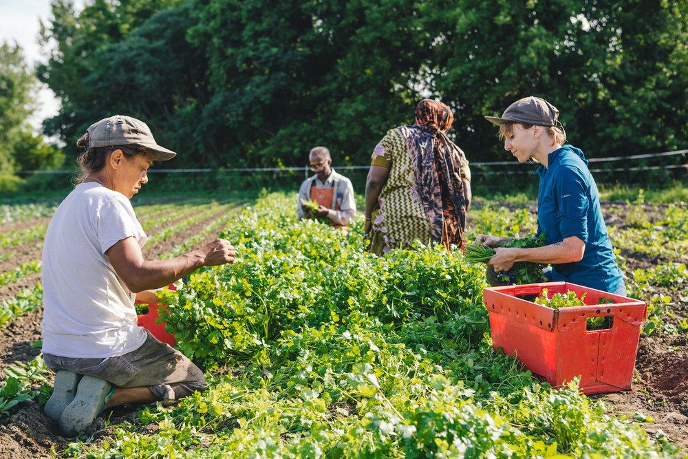 Diggers Mirth harvesting organic cilantro