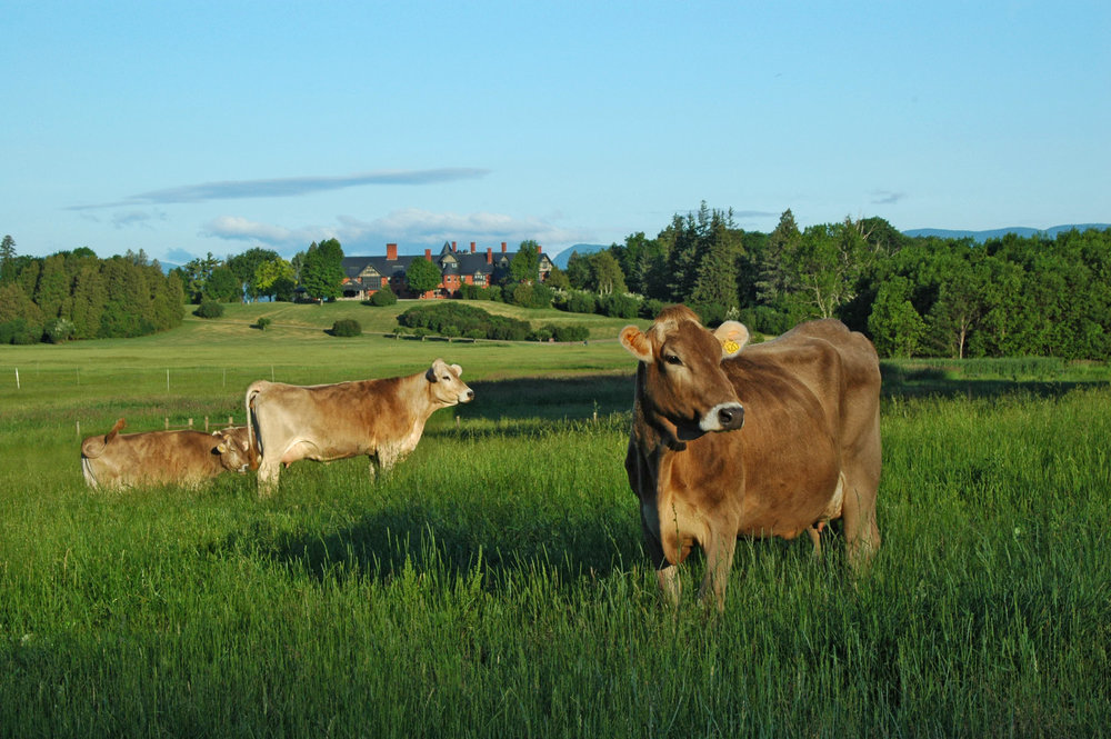 Brown Swiss cows grazing at Shelburne Farms, with the Shelburne Inn in the background. Photo by Marshall Webb, courtesy of Shelburne Farms. Jealous? It's ok, we are too.