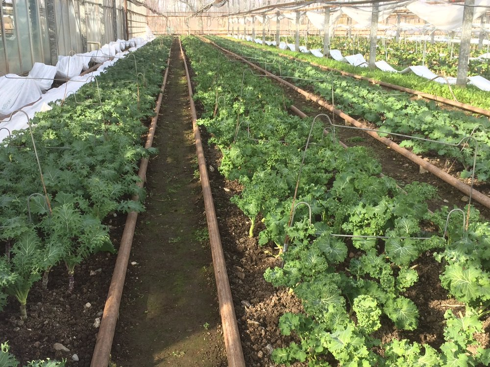 Kale growing happily in the greenhouse at Miskell's Premium Organics in Charlotte, VT. The metal rails allow David Miskell and his crew to slide down each row on a small cart when it's time to harvest greens. Even though greenhouses are protected from harsh outdoor conditions, they're often not heated much above outdoor temperatures!