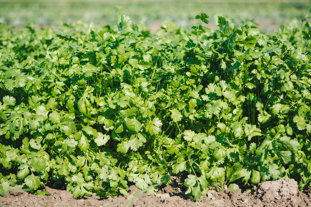 Cilantro at Diggers' Mirth Collective Farm by Jessica Sipe