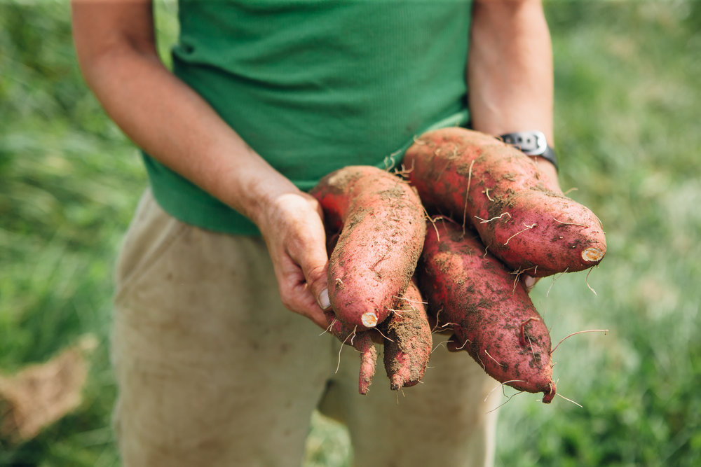 Burnt Rock Farm Sweet Potatoes