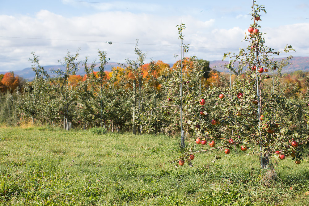 Eco-Apple certified fruit at Champlain Orchards in Shoreham, VT