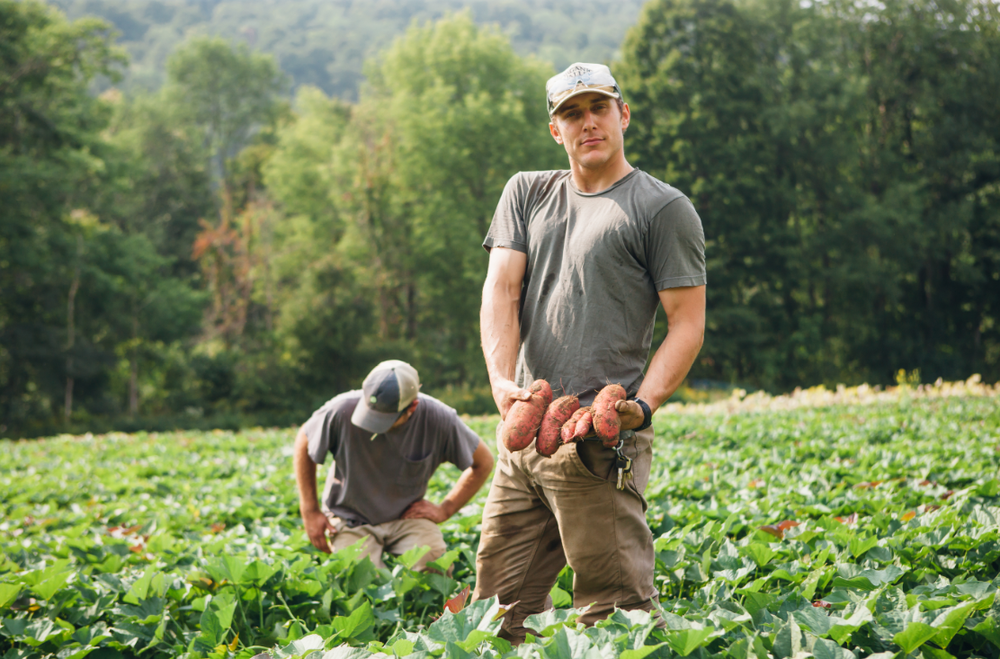 Justin Rich, co-owner of Burnt Rock Farm, harvesting sweet potatoes.