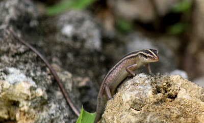 Hiking close to the Dept. of Mines And Geology, I found this little guy (a skink). Sifting through Michael McCoy's reptile guide, I discovered that this was an Emoia cyanura