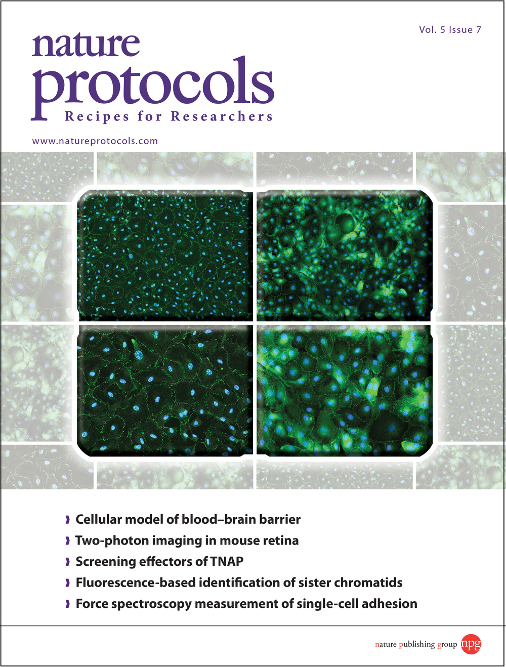 Description from the journal:    Cover:  A monolayer of cultured cells derived from the microvascular endothelium of a human brain. The cells are immunofluorescently stained to show the presence of proteins associated with tight junctions. Image is from the protocol by Bernas et al. on p. 1247. Cover design by Jamel Wooten.