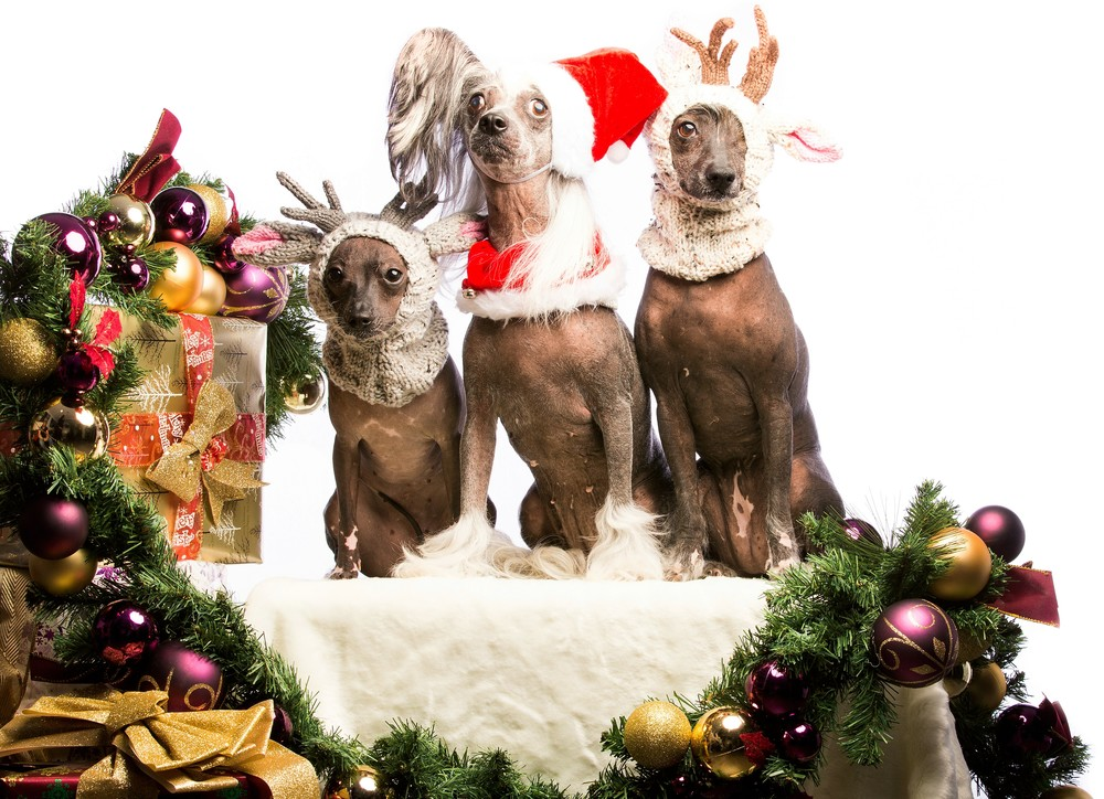 "Merry ""Take This Off Me RIGHT NOW""-mas from the girls of No Hairs Ark - representatives Tonks, Holly and Pew, from Left to Right."