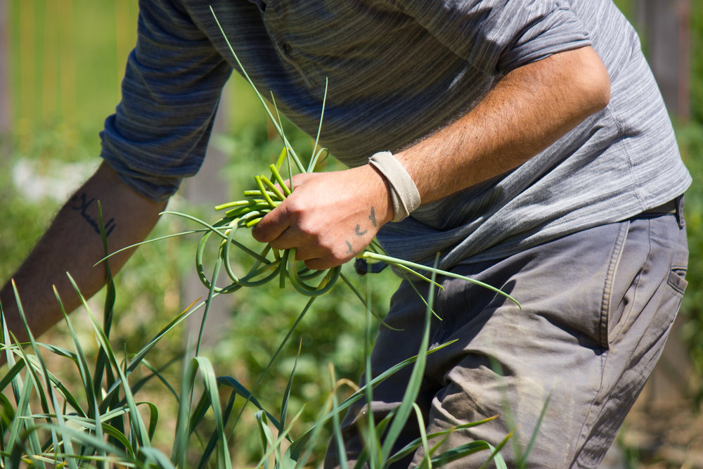 harvesting garlic scapes
