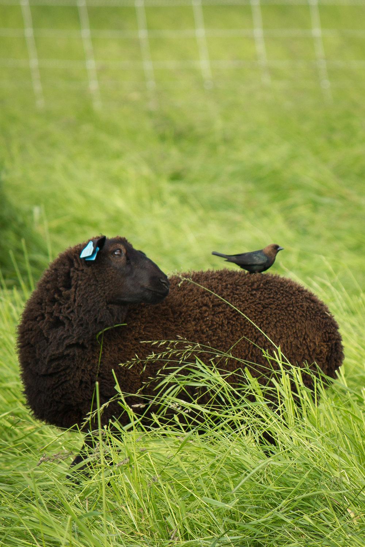 summer sheep and cowbird