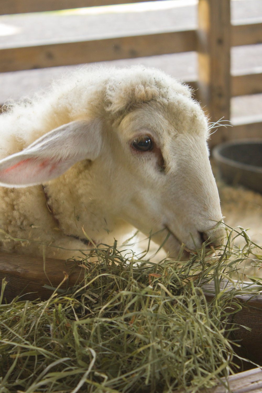 Sweet Pea in the Children's Farmyard