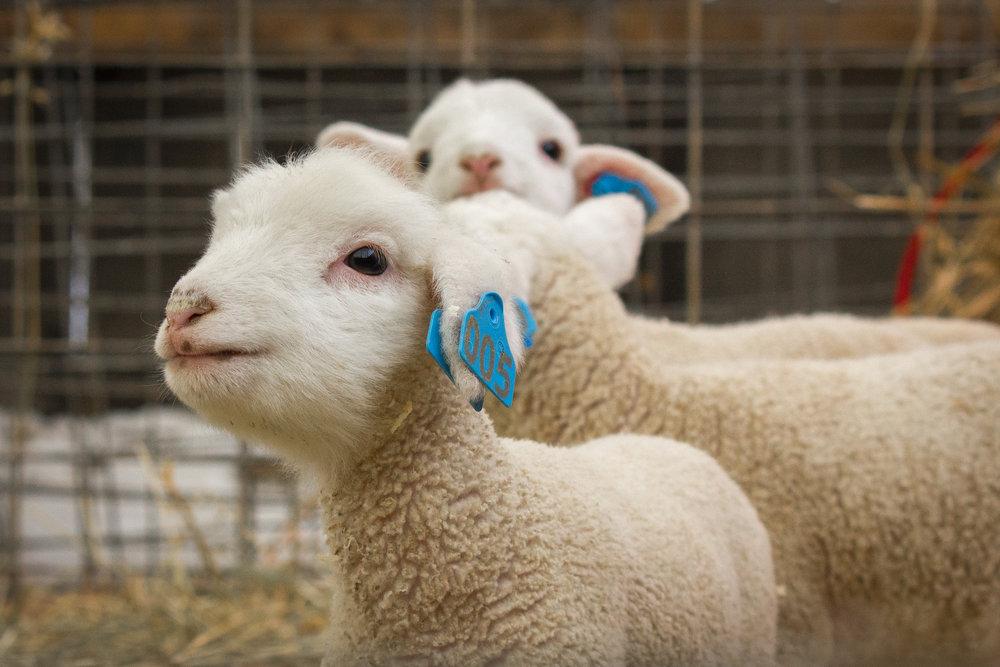 winter lamb