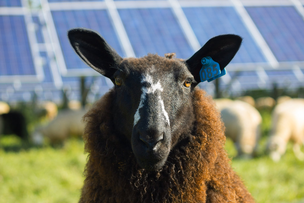 fall sheep in the Solar Orchard
