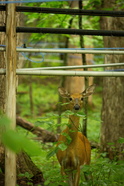 summer deer and sap lines