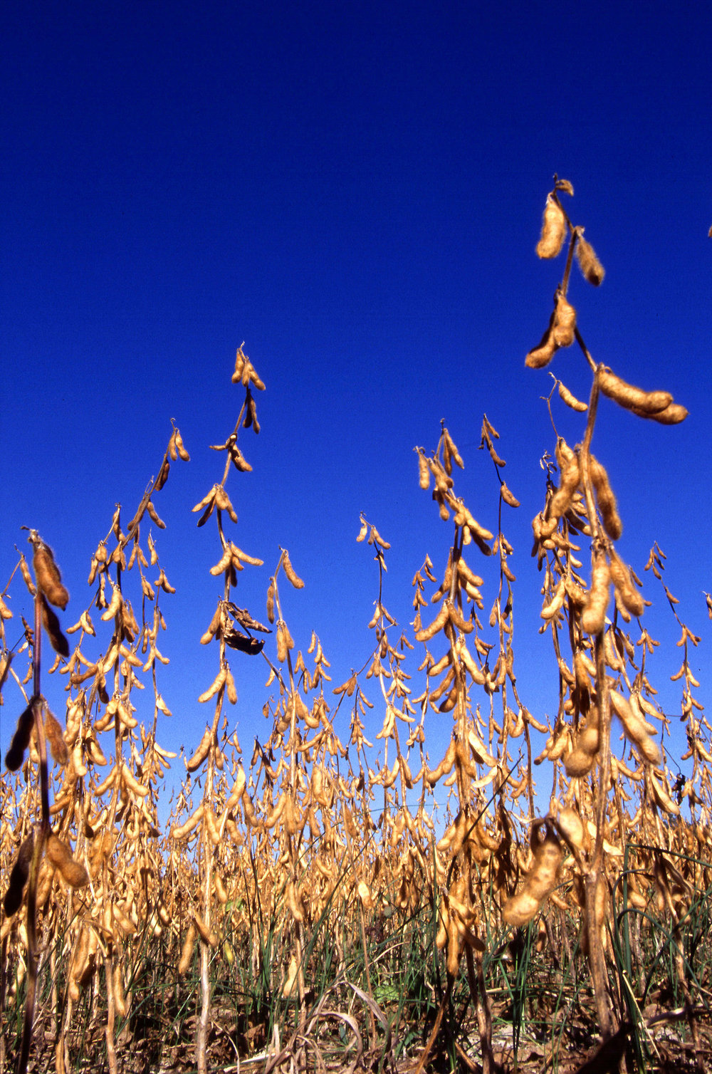 Soybeans ready for harvest.