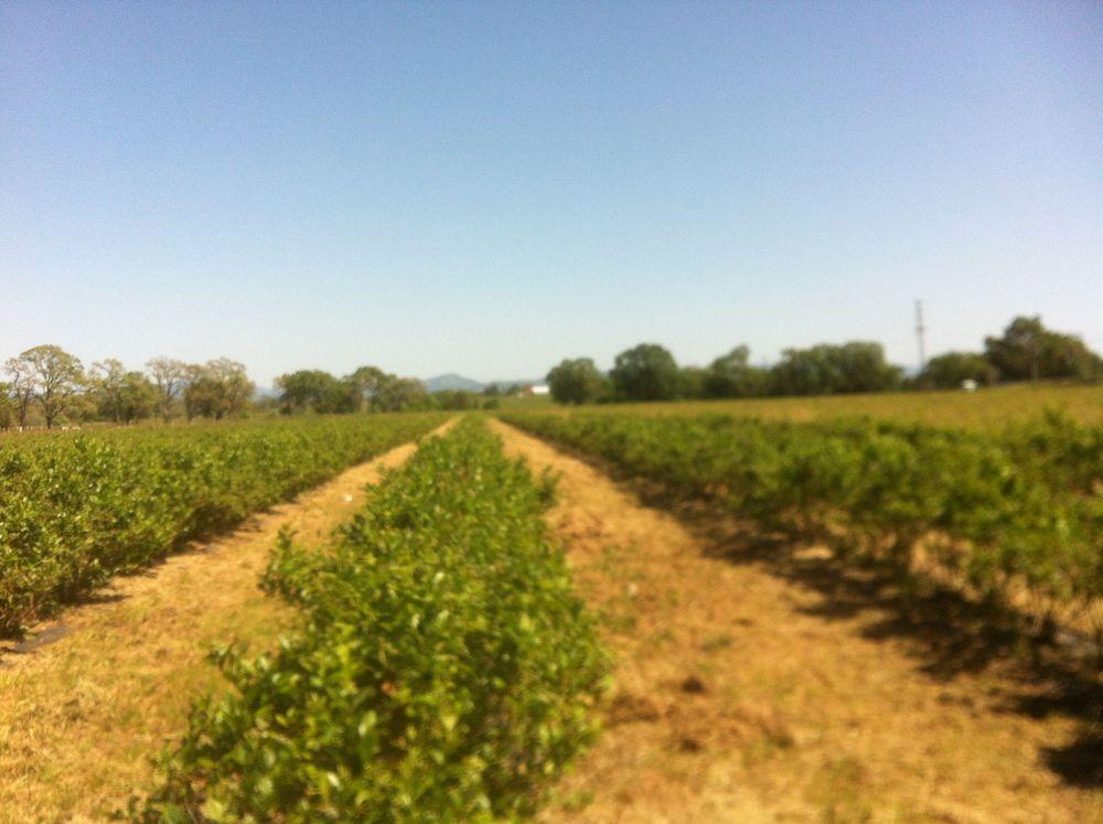 Blueberries A2.jpg