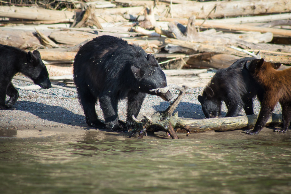 BearFamily_ZOOM_1800.jpg