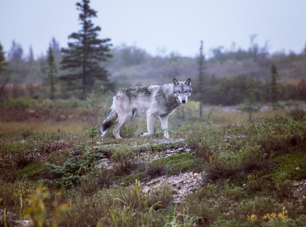 wolfFIN_3790.jpg