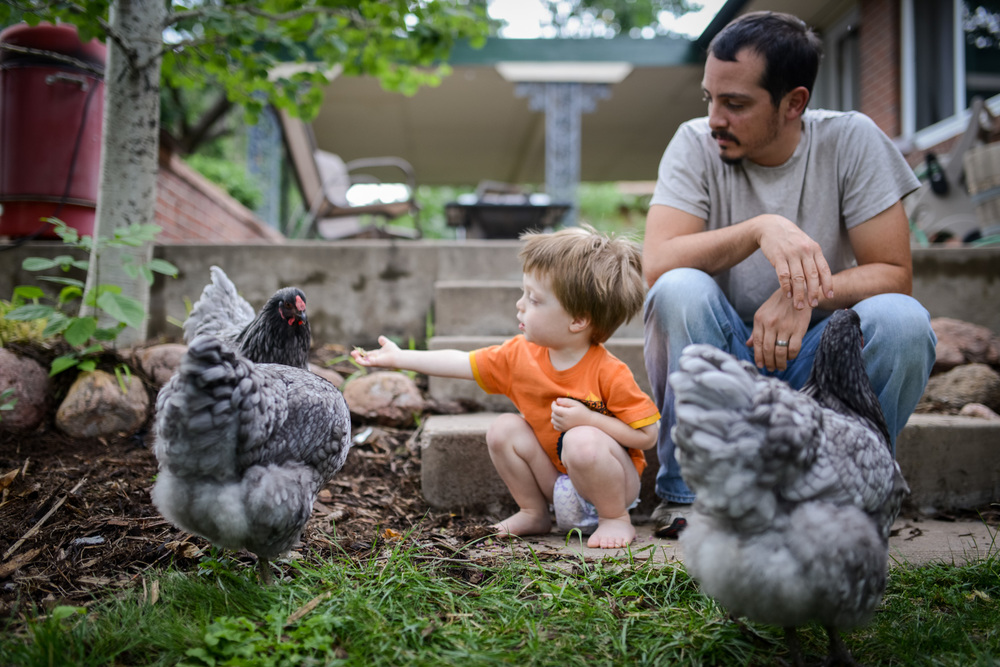 colorado-backyard-chickens-with-child