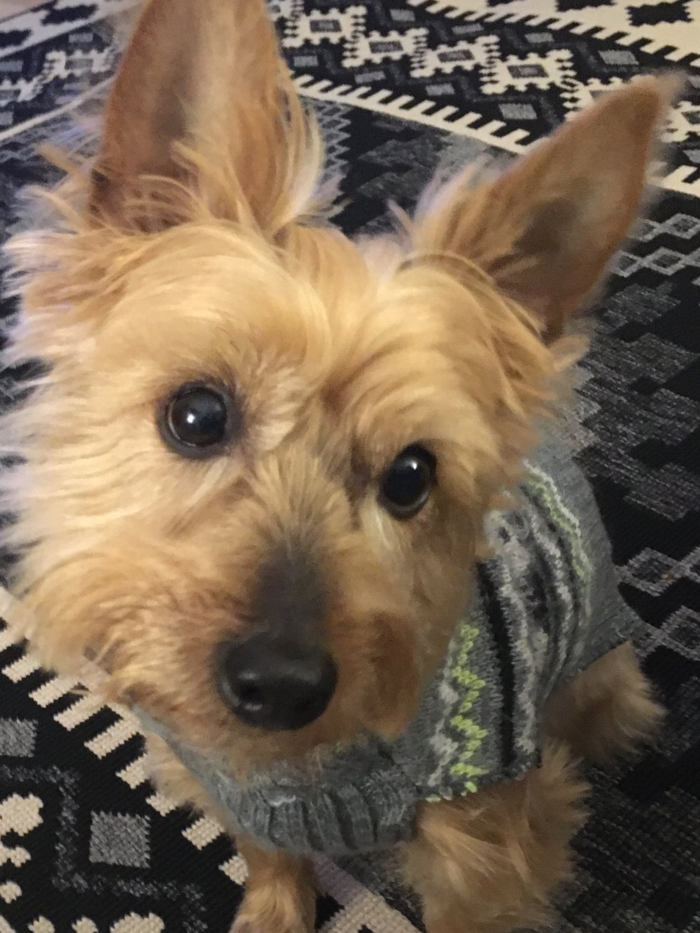 Austin Jackson Poobalah, our super protective Yorkie,, seems never to be able to get out of his winter clothes with this endless winter.