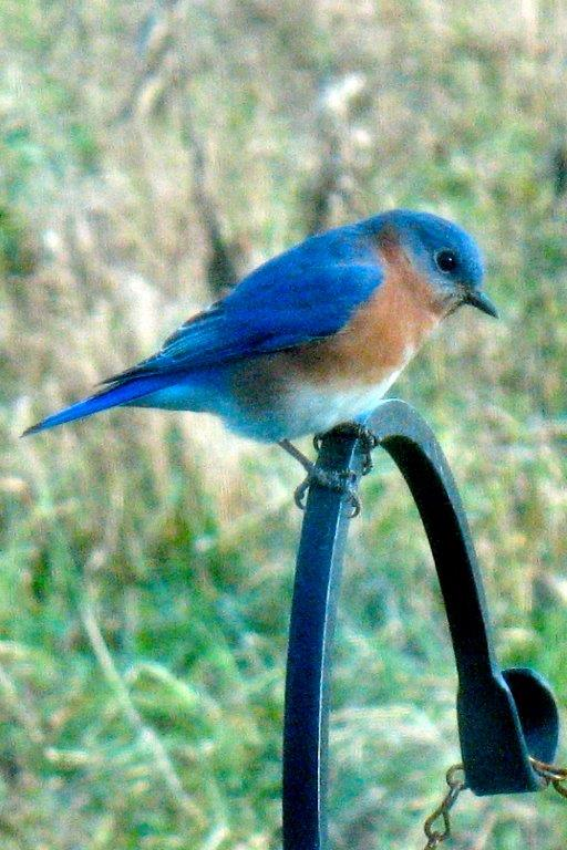 Penny's Bluebird, just outside the living room window.