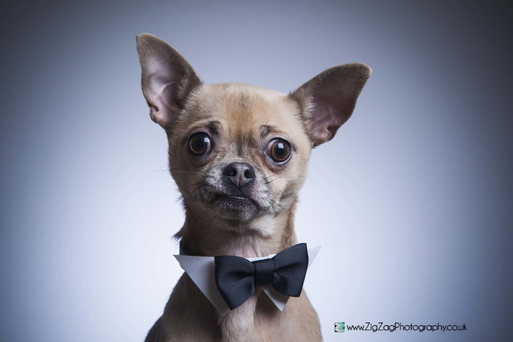 photography-session-leicester-session-photoshoot-zigzag-bowtie-smart-dress-up-costume-cute-dog-pet-animal.jpg