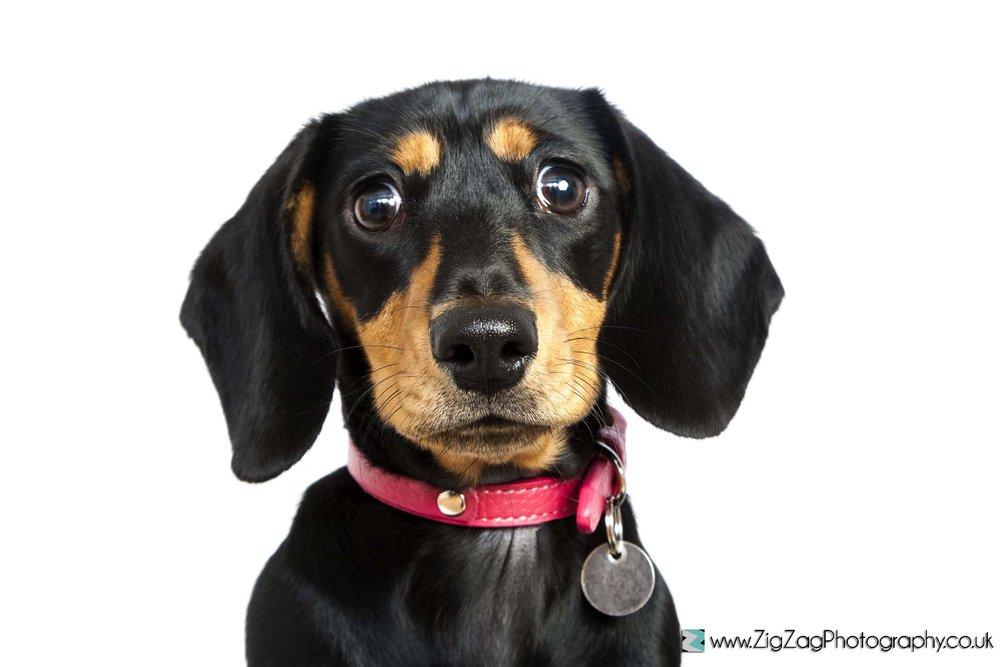 photography-session-leicester-studio-photoshoot-studio-zigzag-dog-eyes-nose-puppy-animal-pet-collar-sad.jpg