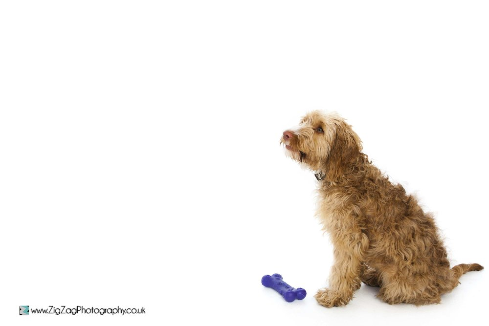photography-studio-leicester-photoshoot-session-pets-dogs-animals-bone-zigzag.jpg