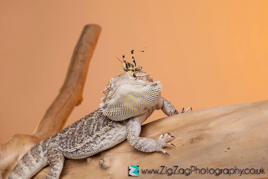 photography-session-leicester-photoshoot-studio-zigzag-reptile-pets-animal-orange.jpg