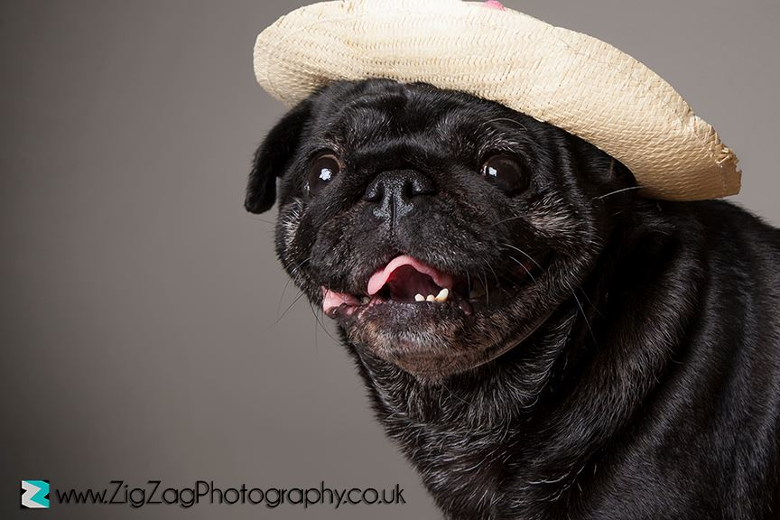 pet-portraits-leicester-dog-photography-photo-shoot-animal-pug-zigzag-zig-zag.JPG