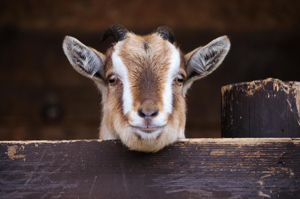 Goat portrait.jpg