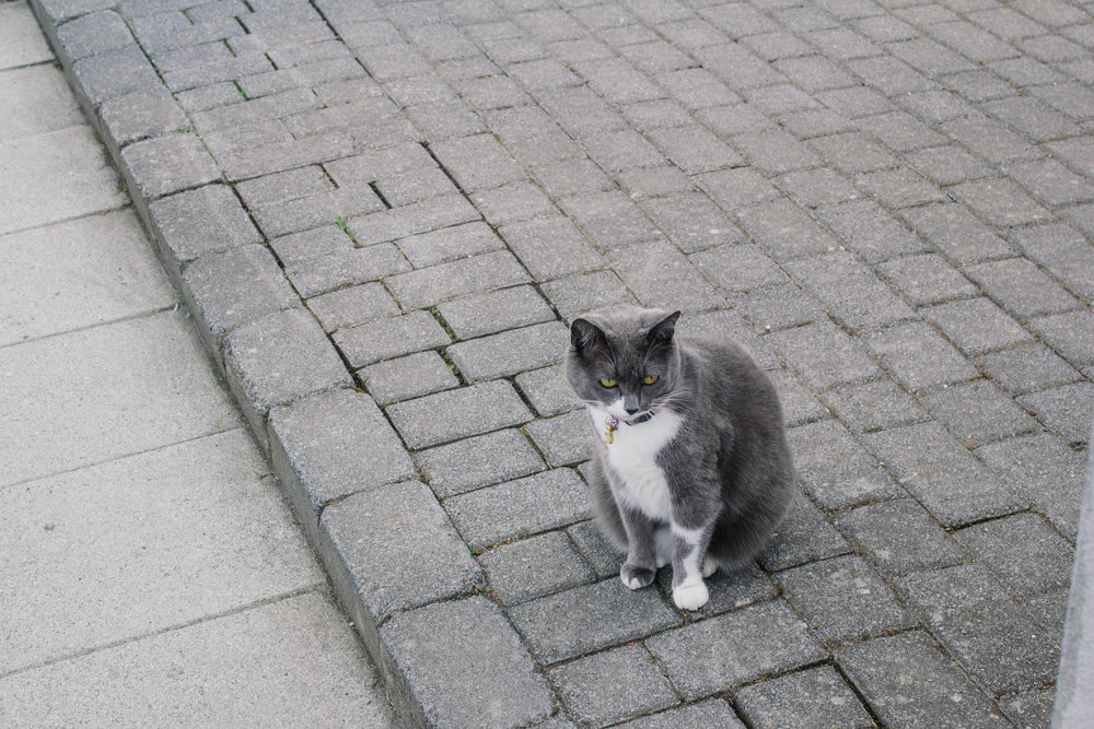 One of the many cats that roam Reykjavik's streets