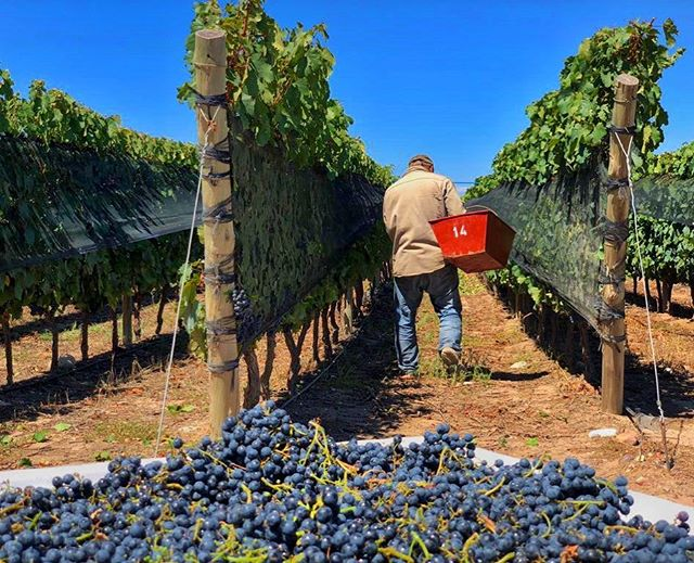 Blue skies, purple hues and grape picking for a perfect Sunday afternoon #tasteofmendoza