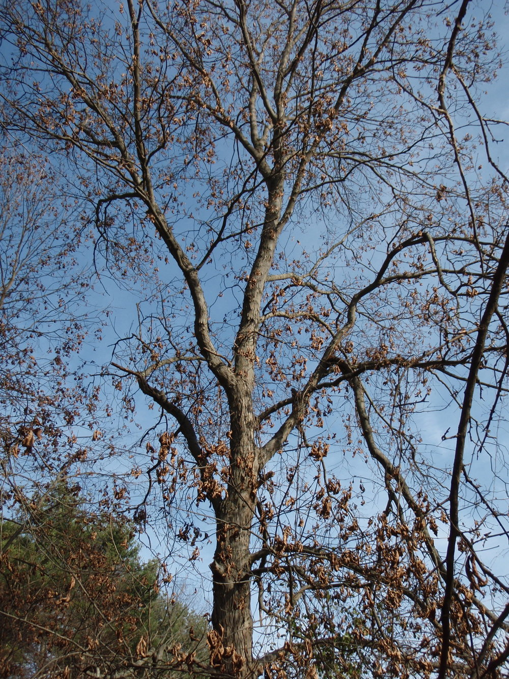 A tall hickory near the Vosburg site, November, 2009