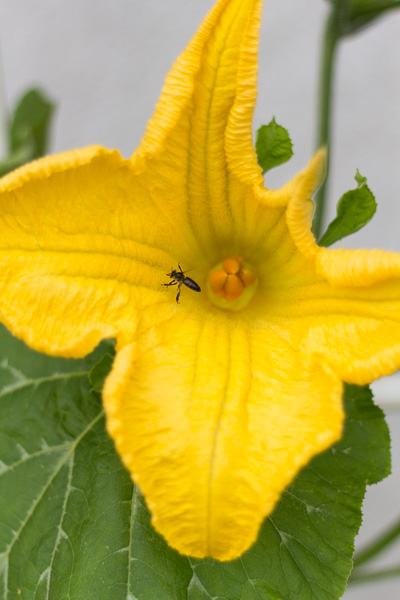 Zucchini bloom and bee