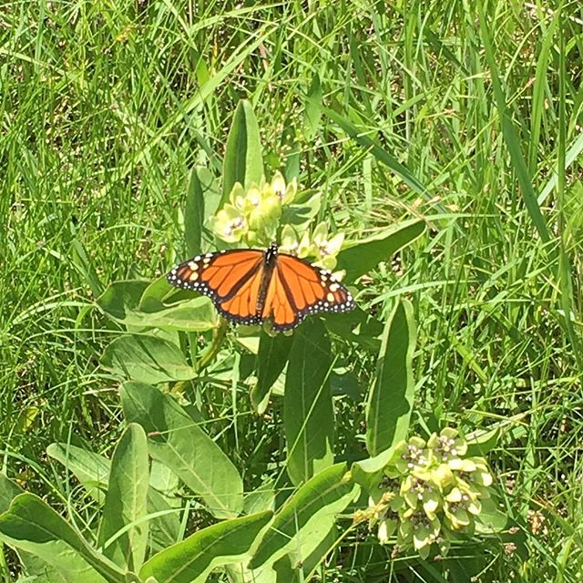 Spotted in the field! #punsoffun #butterflygram #prairielife