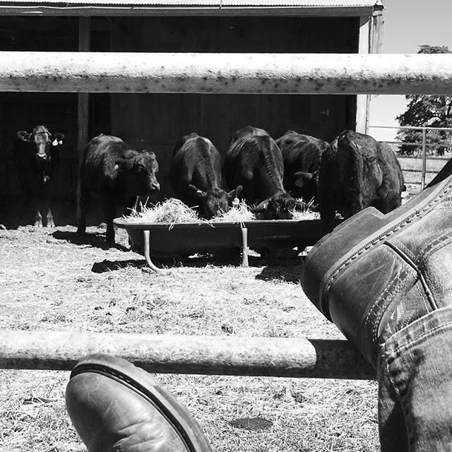 Just a day at the office ... kicking back to work beside a pen of new beauties, so they can get used to us before heading out to their day jobs with the big herd. #landscapers #coworkersbelike #biodiversitywarriors #regenerativeagriculture #cowgirlboots #holisticmanagement @jnmeriwether