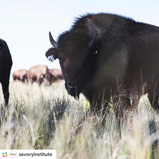 Happy Earth Day 🌏  #regenerativeagriculture #savetheplanet #ranchlife #climatechangeisreal #holisticmanagement #eatfortheplanet #bison #grassland #grazingforchange