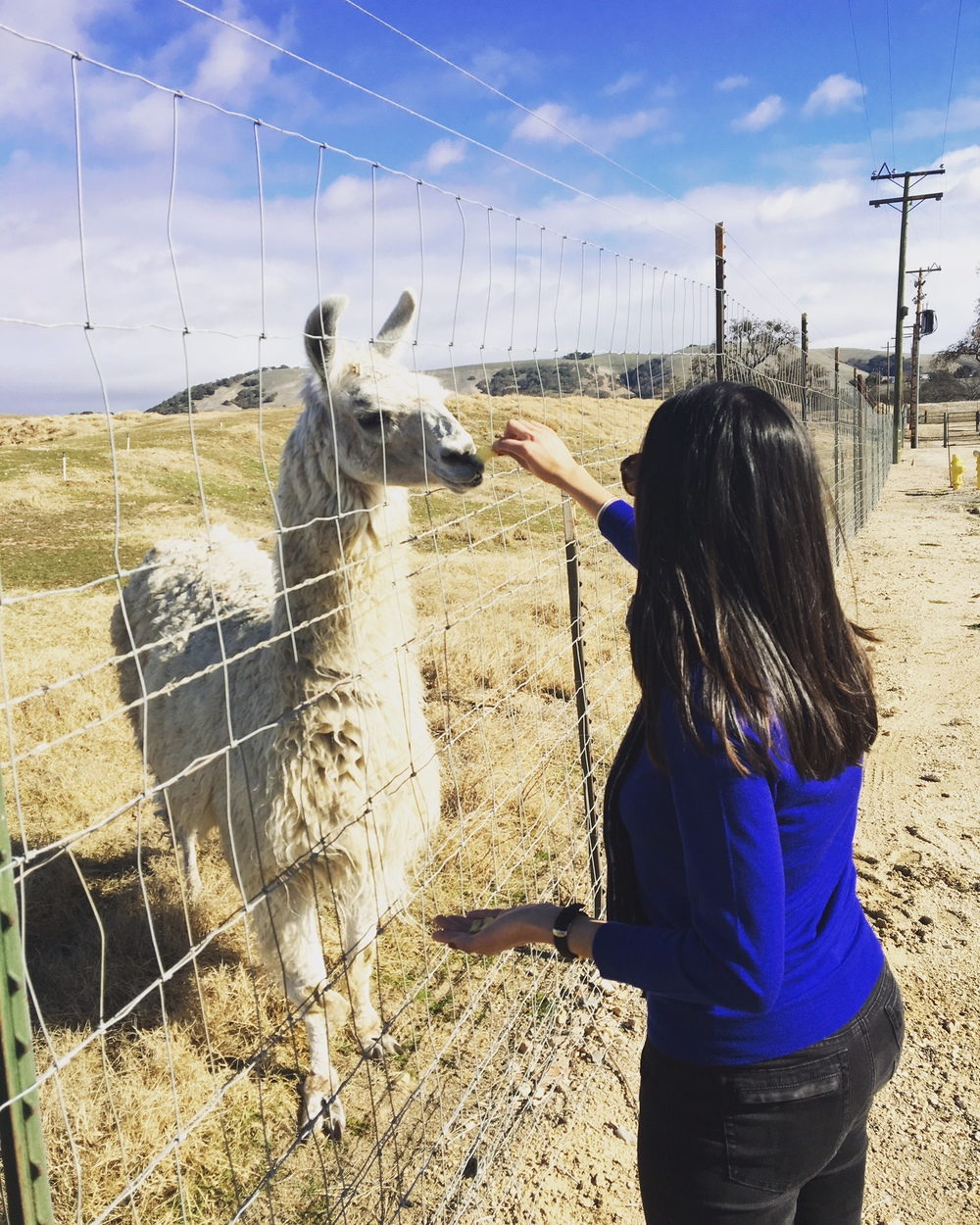 Floyd!! It may sound ridiculous, but we're attached to a grumpy llama. Every visit we feed him salt & vinegar chips. He's getting old, but that doesn't stop him.