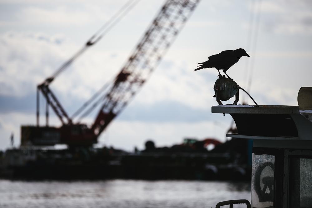 a raven at Hokkaido fish market