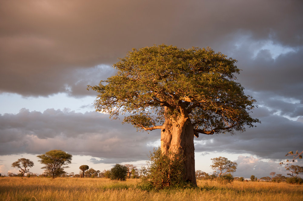 Original Human Skin Care Facial Serums Face Oils - Image of Baobab tree at sunset