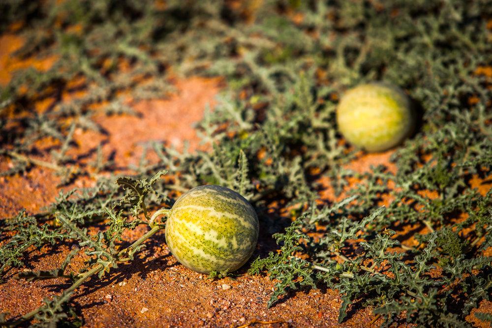 Original Human Skin Care Facial Serums Face Oils - Image of Kalahari Melon in Namibia