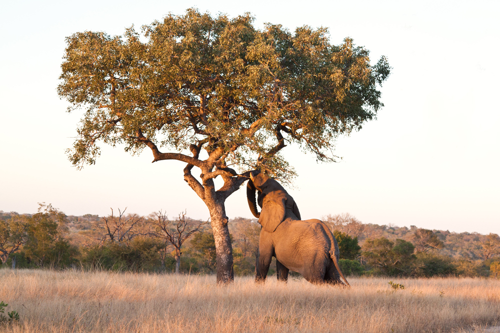 Original Human Skin Care Facial Serums Face Oil - Image of elephant reaching up to a Marula tree in Africa