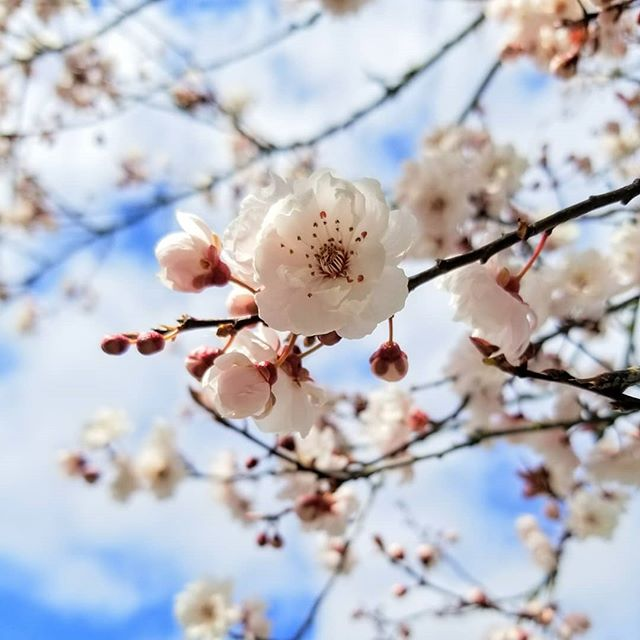 Home... appreciating spring right where I am. Every season unlocks opportunities for new discoveries. #spring . . . . . . . . #newhome #blossoms #pnw #bremerton #waphotographer #wabusiness #kitsap #bluesky #flowers #fruittree #landscape #upperleftusa #photography #photographer #happyspring #zen
