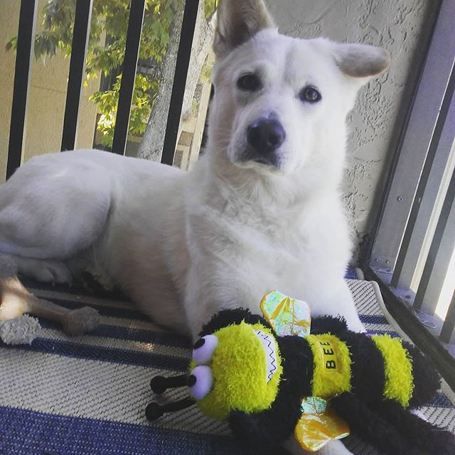 I bought Ingrid this terribly ugly bee since it was on super clearance. I figured she would tear it apart in a couple days like she's done in the past, but instead she has become quite attached to this horrid thing. Last night she gently laid it down between Nate and I, and can be seen carrying it everywhere she goes.  #ingridthecatdog #jindo #koreanjindo #진돗개 #rescuedog #dogsofinstgram #derp