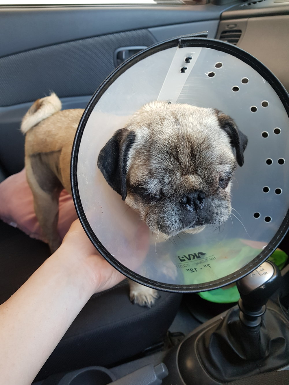 Leaving Melbourne Eye Vet after the operation - eyes stitched closed for 1 week to protect them as they heal.