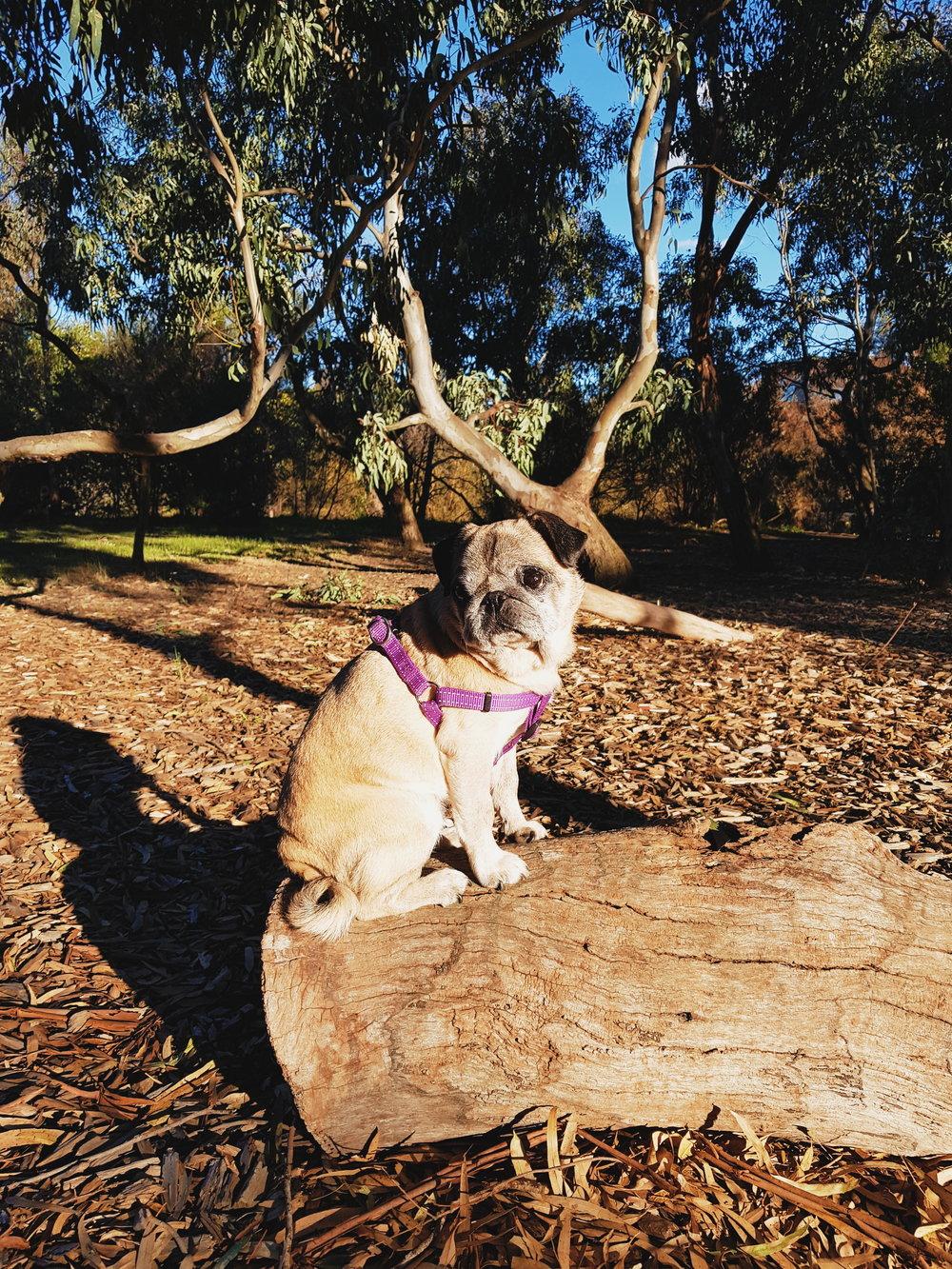 Lola Pug Recovered Vestibular Disease Balance.jpg